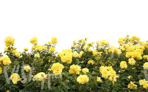 cut out yellow rose bush for foreground