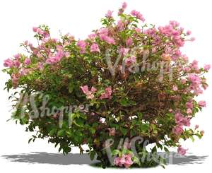 cut out bush with pink blossoms