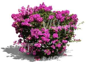 cut out bush with big violet blossoms
