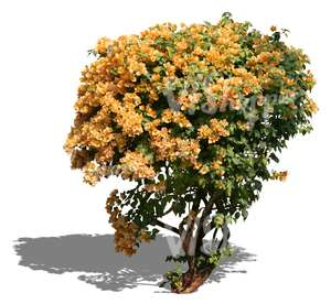 cut out bush with yellow blossoms