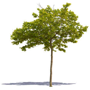 cut out medium size deciduous tree