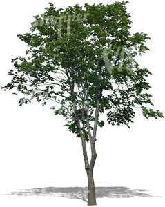 cut out medium deciduous tree