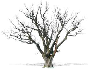 cut out leafless oak