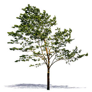 cut out tree with sparse leaves