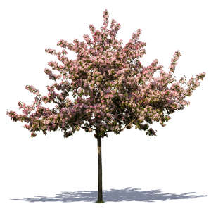 cut out blooming cherry tree