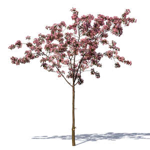 cut out small blooming cherry tree