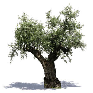 cut out old olive tree