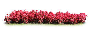 row of blooming red flowers