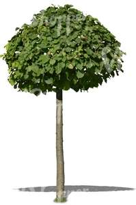 small tree with a round crown