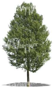 cut out tall linden tree