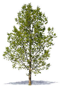 cut out medium size tree with young leaves