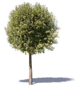 cut out deciduous tree with a round crown