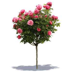 cut out blooming rose bush