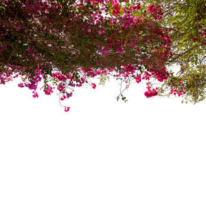 foreground branch with pink blossoms