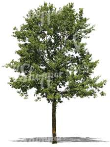 cut out deciduous tree