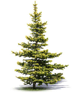 small light green spruce