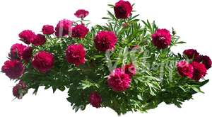 cut out bush of peonies