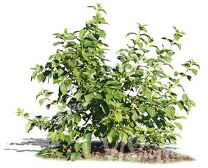 small deciduous bush
