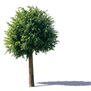 linden tree with a round crown