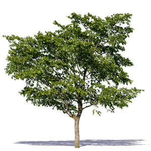 cut out decidious tree in summertime