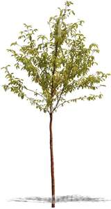 small deciduous tree