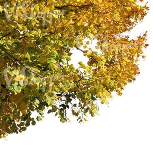branch of a linden tree with yellow leaves