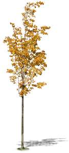 small linden tree with yellow leaves