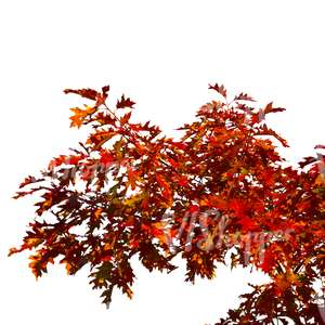 maple branch with red leaves