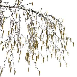 branch of birch tree with catkins