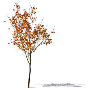 small autumn tree with some yellow leaves