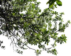 tree branch with white blossoms