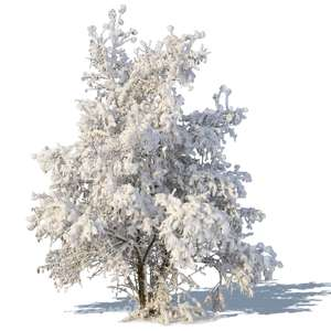 winter tree with a big snowy crown