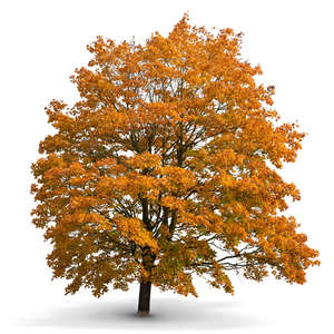 big maple tree in autumn