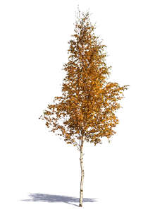 medium size birch tree in autumn