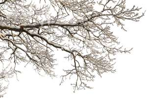 winter tree branch covered with snow