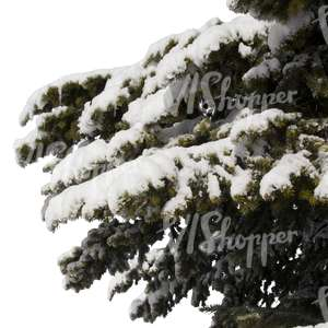 spruce branch covered with snow