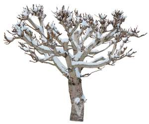 leafless tree with snow