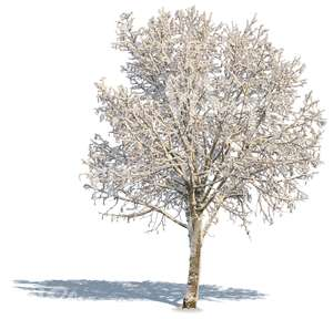 leafless tree with a big crown covered with snow