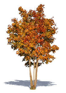 medium size maple tree in autumn