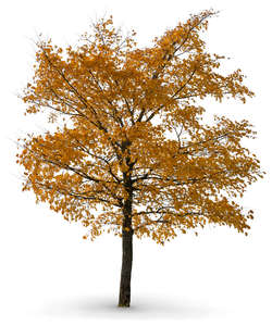 linden tree in autumn
