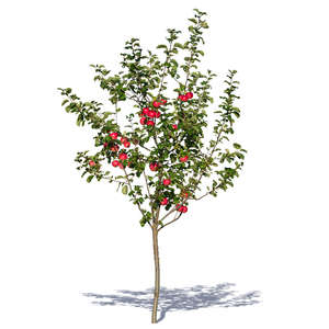 small apple tree with apples
