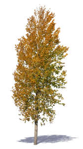 linden tree with orange leaves