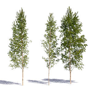 group of three birches