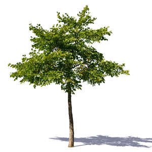 small linden tree in summer