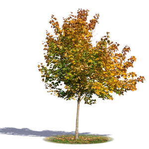 smaller maple tree in autumn