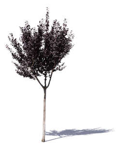 small purple plum tree