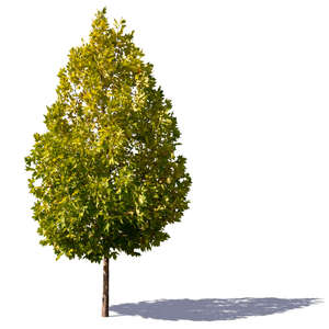 cone shaped maple tree