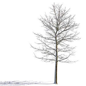 sidelit winter tree