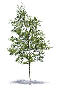medium size deciduous tree