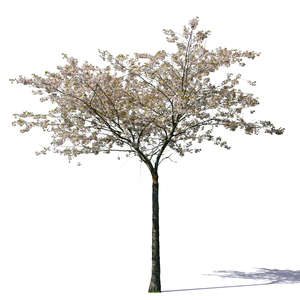 small blooming cherry tree